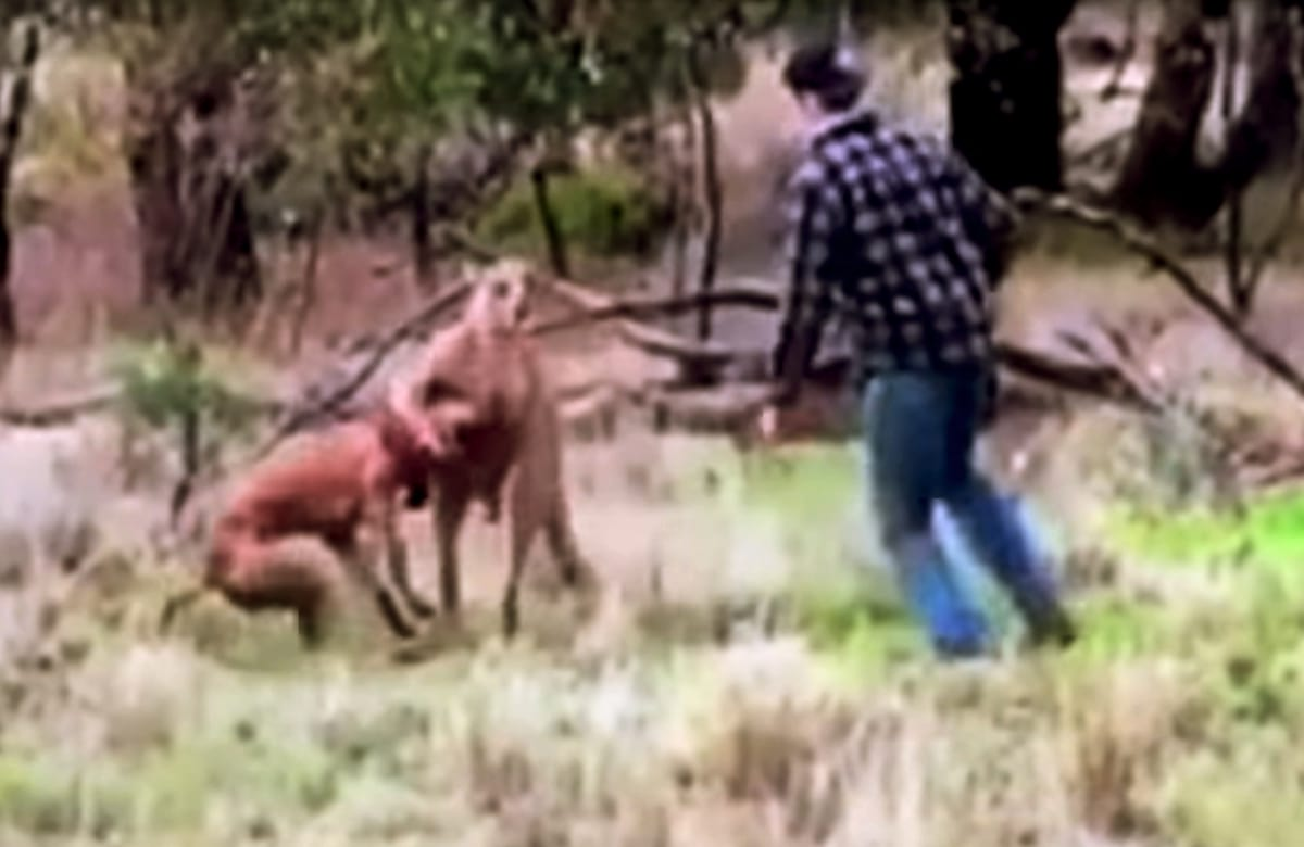 man punches kangaroo to save his dog from being strangled