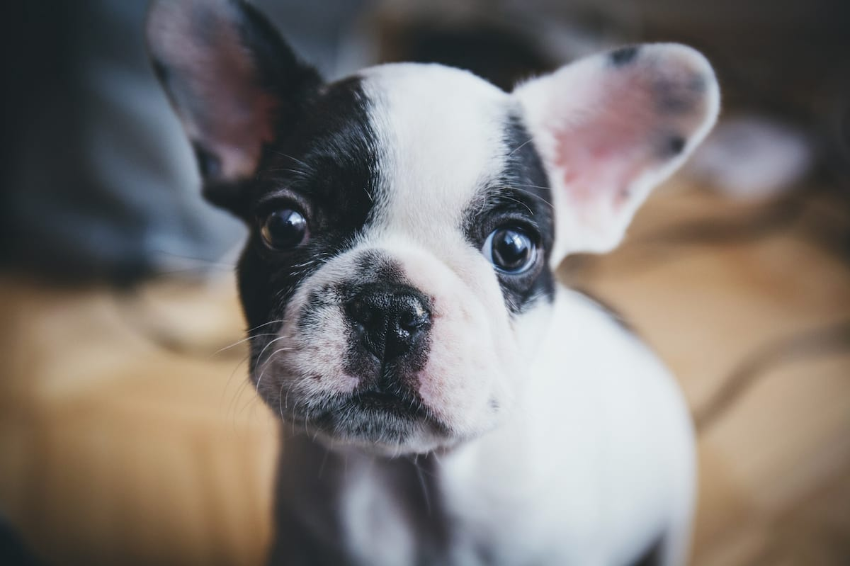 Everyone Needs To Stop Buying Small Dogs With Big Heads, Heres Why 60636UNILAD imageoptim french bulldog puppy portrait