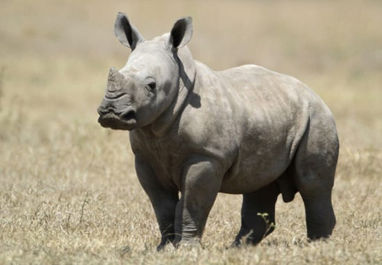 Kenya Want To Fast Track Laws Handing Poachers The Death Penalty 18236UNILAD imageoptim rhino conservation web