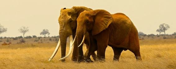 Incredibly Rare 50 Year Old African Elephant Killed By Poachers 1158 Elephant