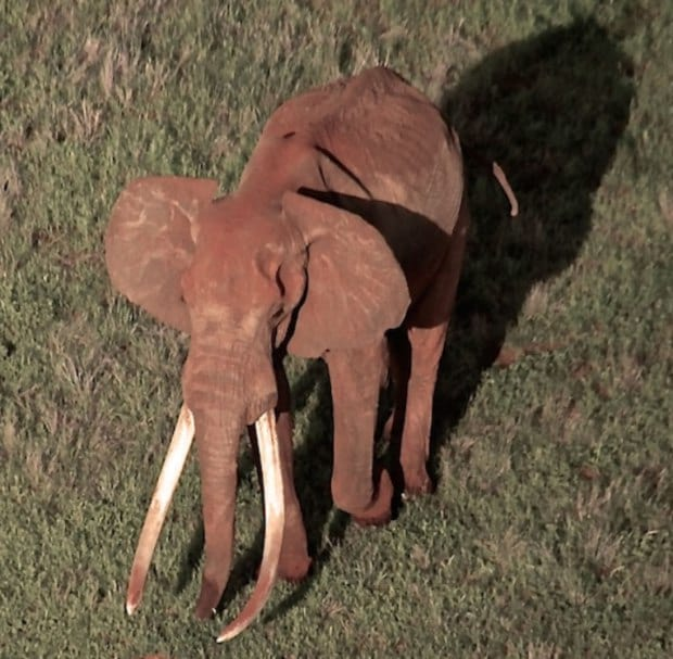 Incredibly Rare 50 Year Old African Elephant Killed By Poachers 1168 satao 2 aerial photo