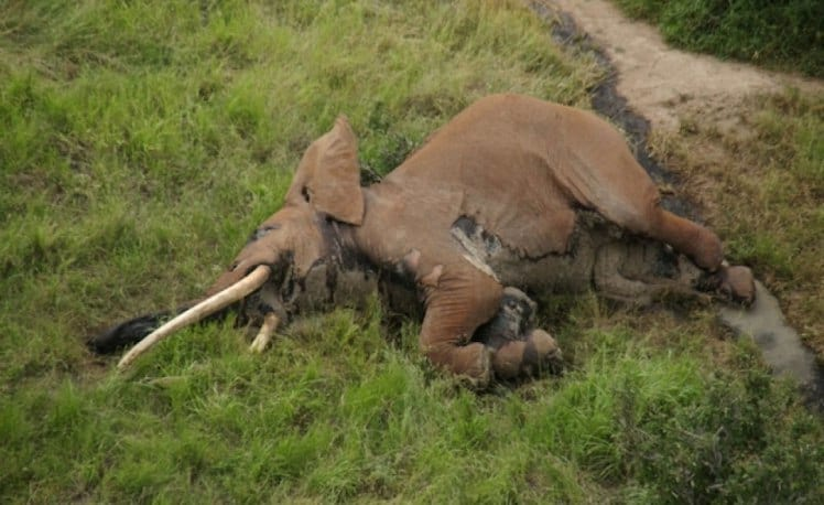 Incredibly Rare 50 Year Old African Elephant Killed By Poachers 1454 satao 2 carcass