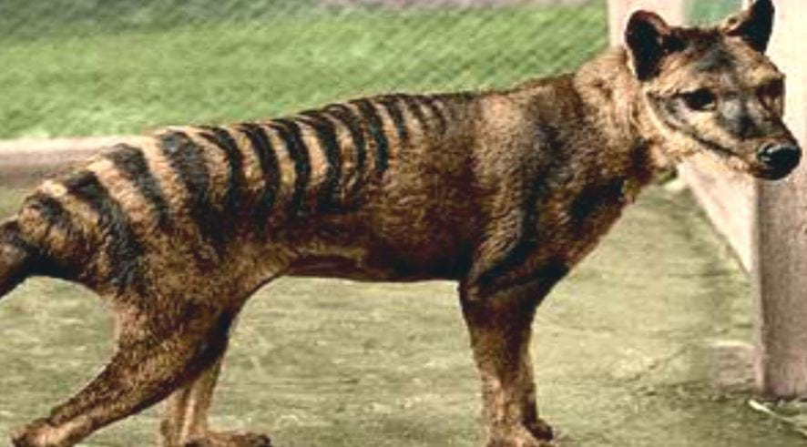 Tasmanian Tiger Spotted In The Wild Despite Being Extinct For 80 Years 157 pwe
