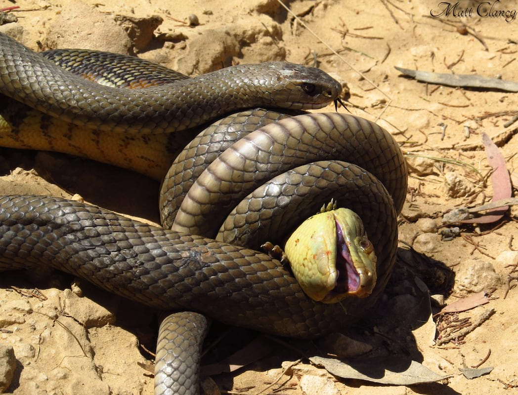 Mum Accidentally Photographs Lethal Predator Lurking Inches From Her Daughter 183 Eastern Brown Snake eating an Eastern Blue tongue. 8235991265
