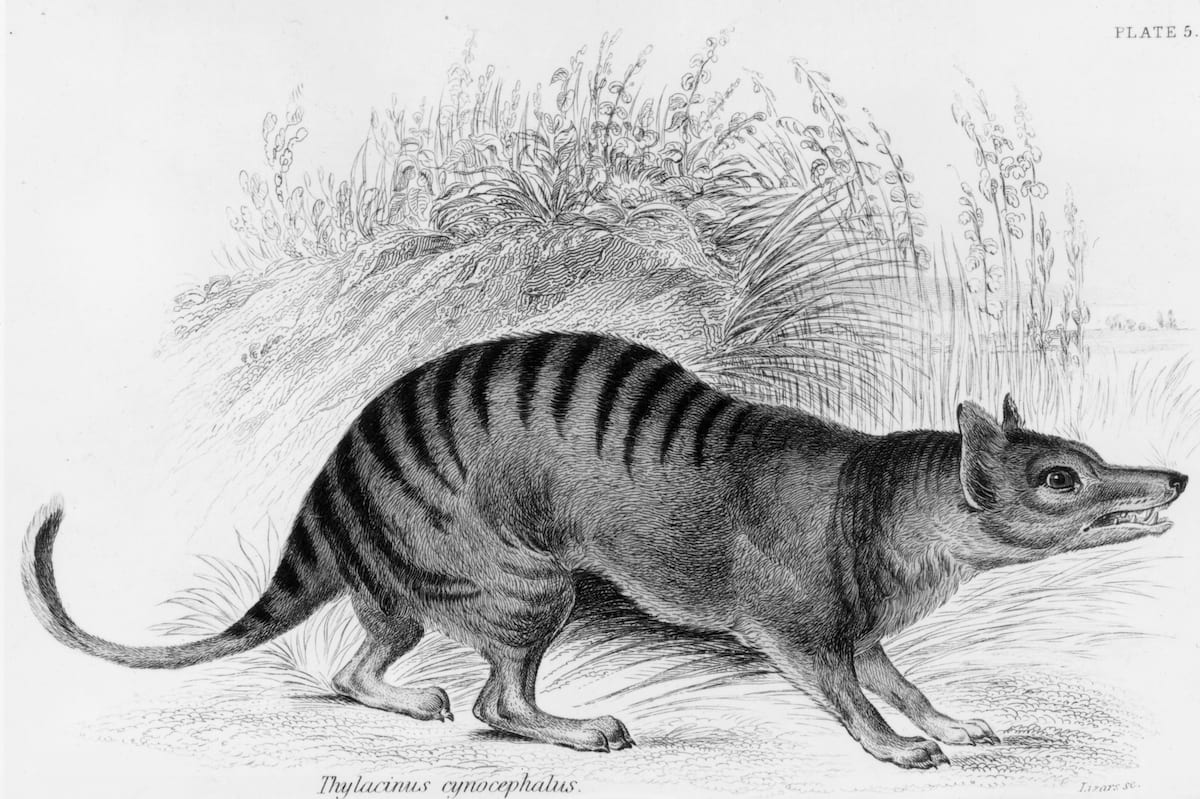 Tasmanian Tiger Spotted In The Wild Despite Being Extinct For 80 Years 330 GettyImages 3360339