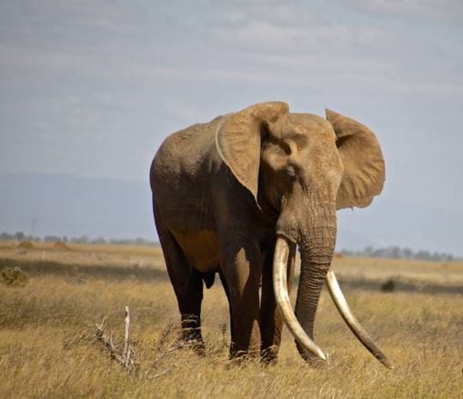 Incredibly Rare 50 Year Old African Elephant Killed By Poachers 406 Elephant1