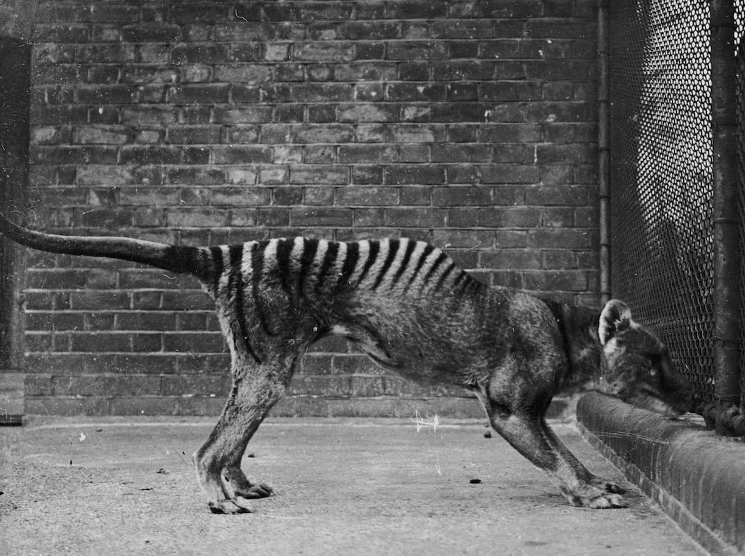 Tasmanian Tiger Spotted In The Wild Despite Being Extinct For 80 Years 449 GettyImages 83208787