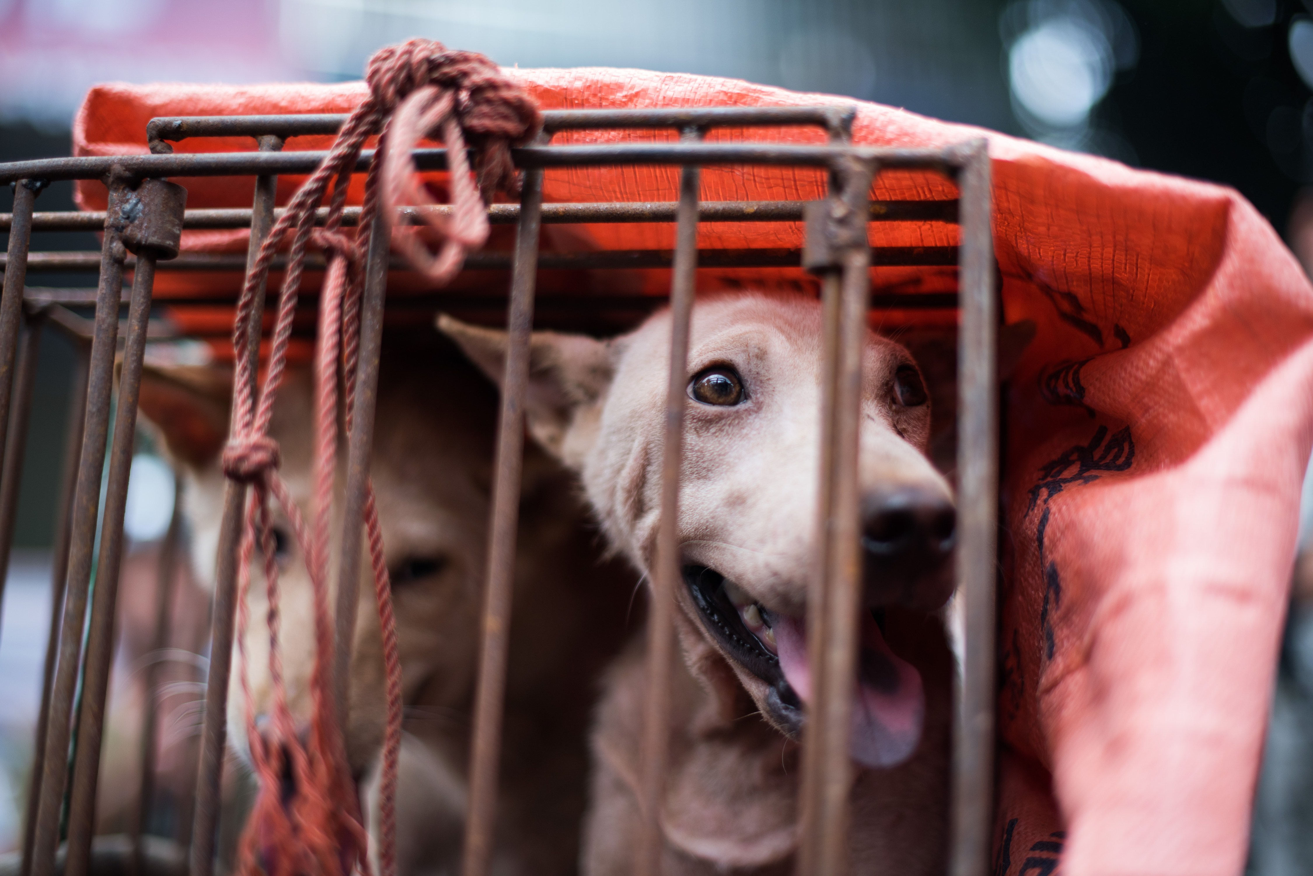 A dog looks out from its cage at a stall as it is displayed by a vendor as he waits for customers during a dog meat festival at a market in Yulin, in southern China's Guangin