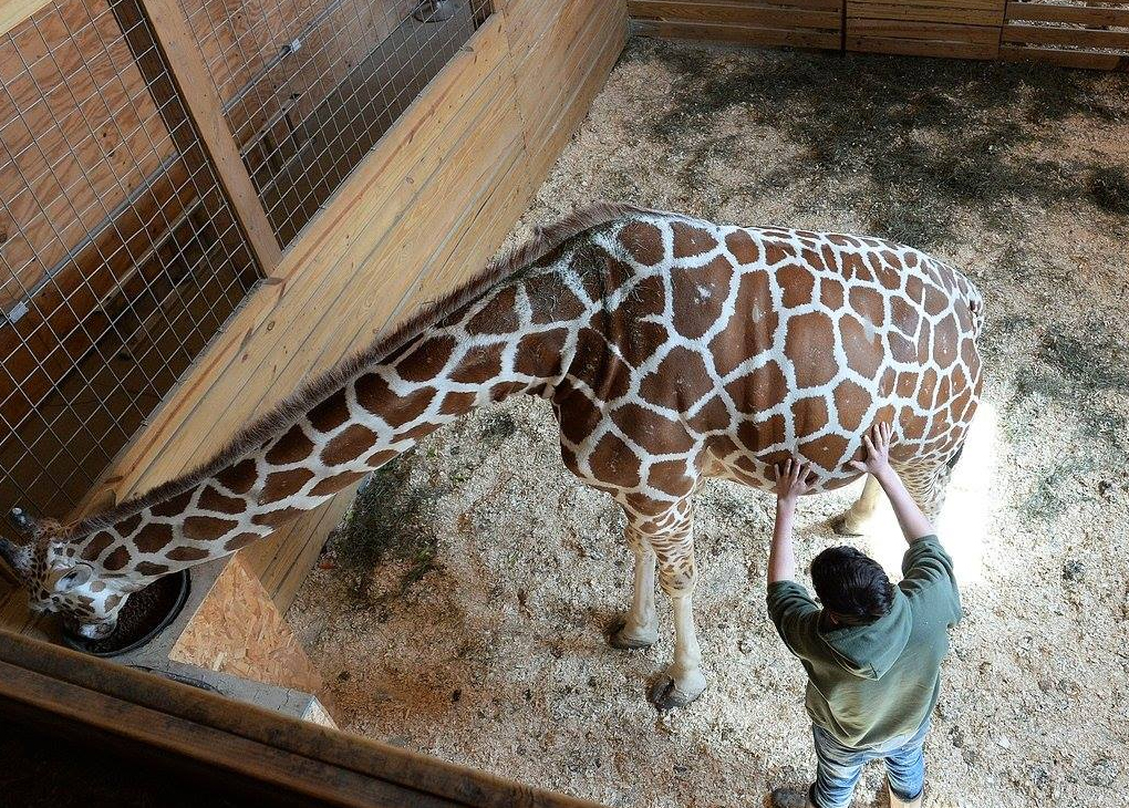 April The Giraffe Is Finally Giving Birth After Months Of
