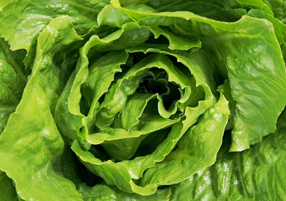Plants Can Hear Themselves Being Eaten lettuce 1517239 960 720