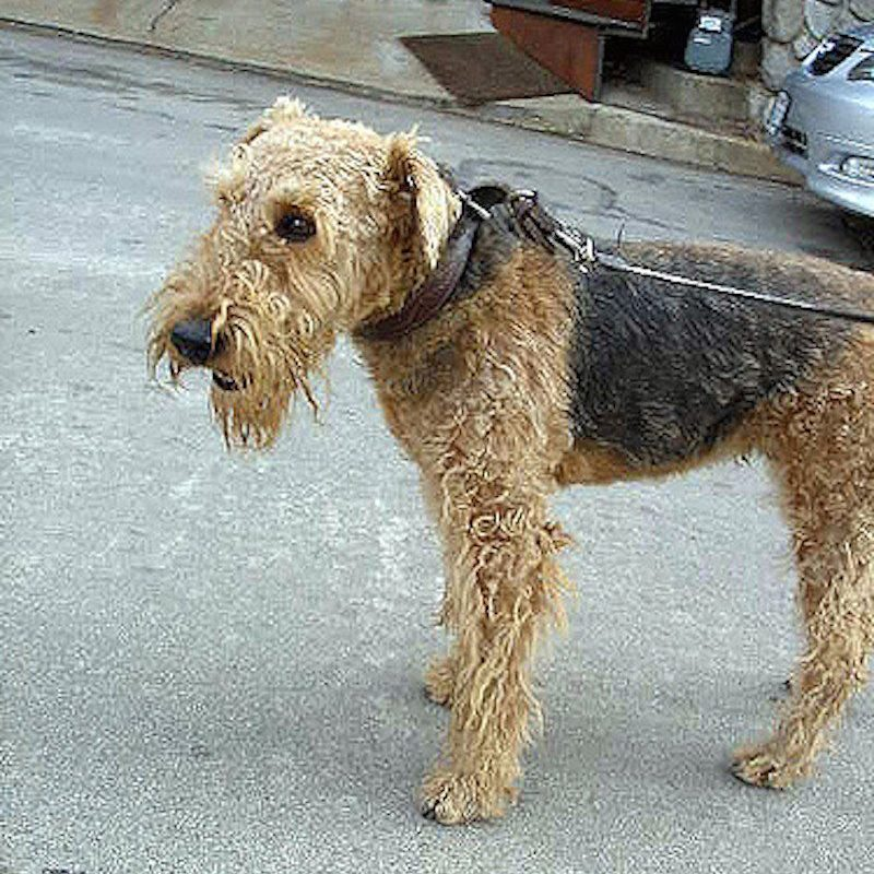 Heres What Inbred Dog Breeds Looked Like 100 Years Ago airedale terrier now 800x800