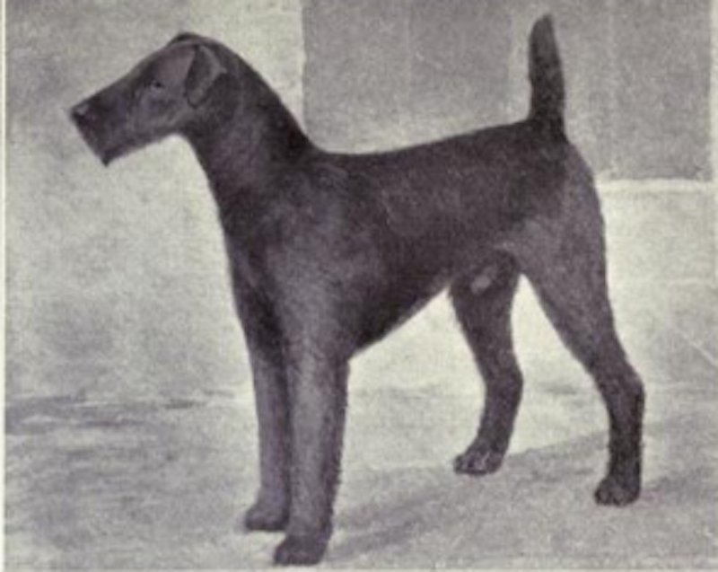 Heres What Inbred Dog Breeds Looked Like 100 Years Ago airedale terrier then