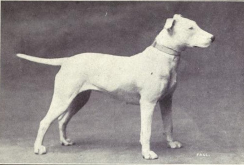 Heres What Inbred Dog Breeds Looked Like 100 Years Ago bull terrier then