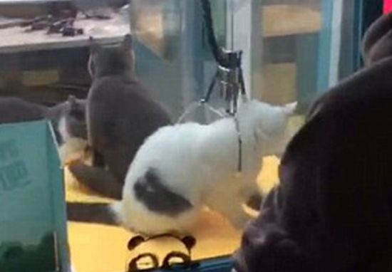 Disturbing Images Show Live Cats Inside Arcade Claw Machine cat grabb web