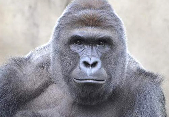 Remembering Harambe One Year After His Death