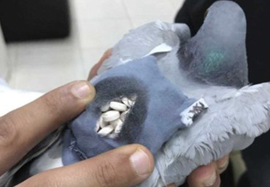 Pigeon Arrested For Its Role In Smuggling Ecstasy Pills