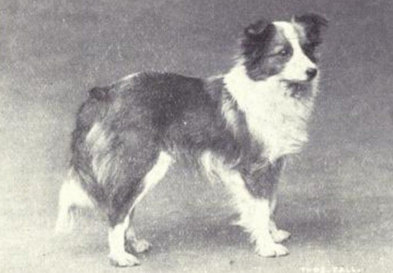 Heres What Inbred Dog Breeds Looked Like 100 Years Ago shetland sheepdog then