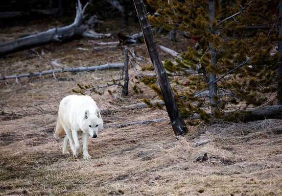 Rare White Wolf Killed In National Park Was Shot Illegally