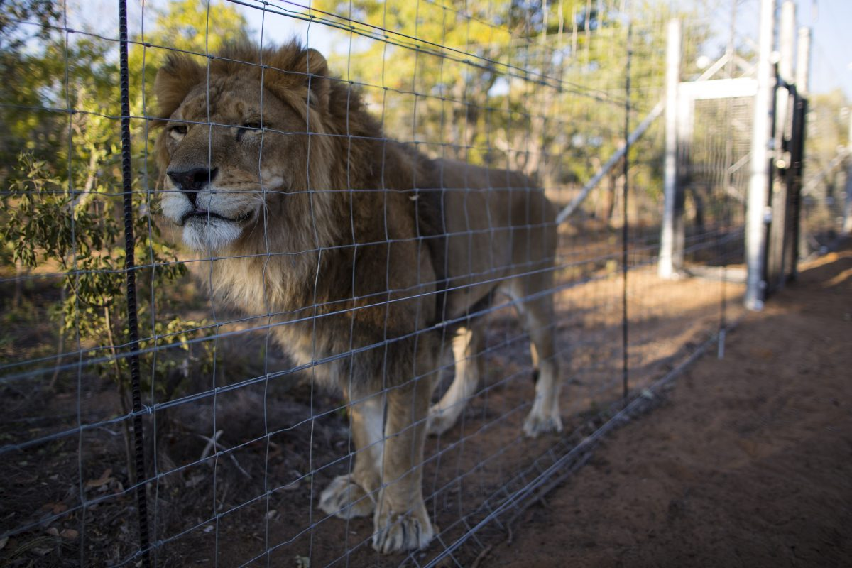 Trump Lifts Another Ban So Hunters Can Continue Slaughtering Innocent Lions GettyImages 527281734 1200x800