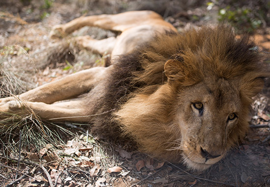 Trump Lifts Another Ban So Hunters Can Continue Slaughtering Innocent Lions lion witch web