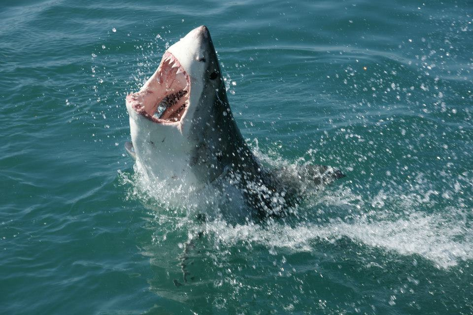 Michael Phelps Is Going To Race A Great White Shark shark