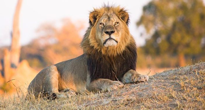 Image of: Killing Unilad Trophy Hunting Can Actually Protect Endangered Animals