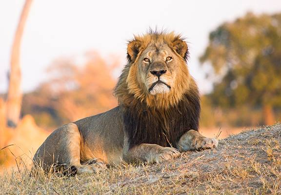 Trump Lifts Another Ban So Hunters Can Continue Slaughtering Innocent Lions Cecil2