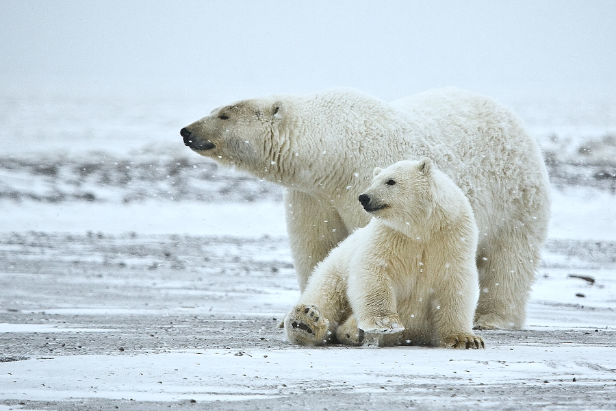 First UK Polar Bear Cub In 25 Years Emerges From Den Polar Bear ANWR 1