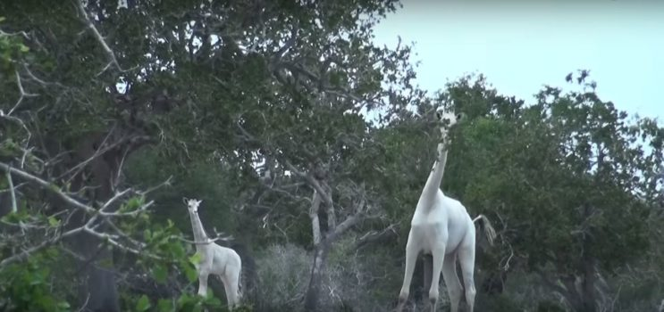 Rare White Giraffe Captured On Video For First Time Ever