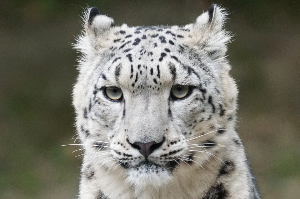 The Snow Leopard Is No Longer Endangered After 45 Years snow leopard 931222 960 720