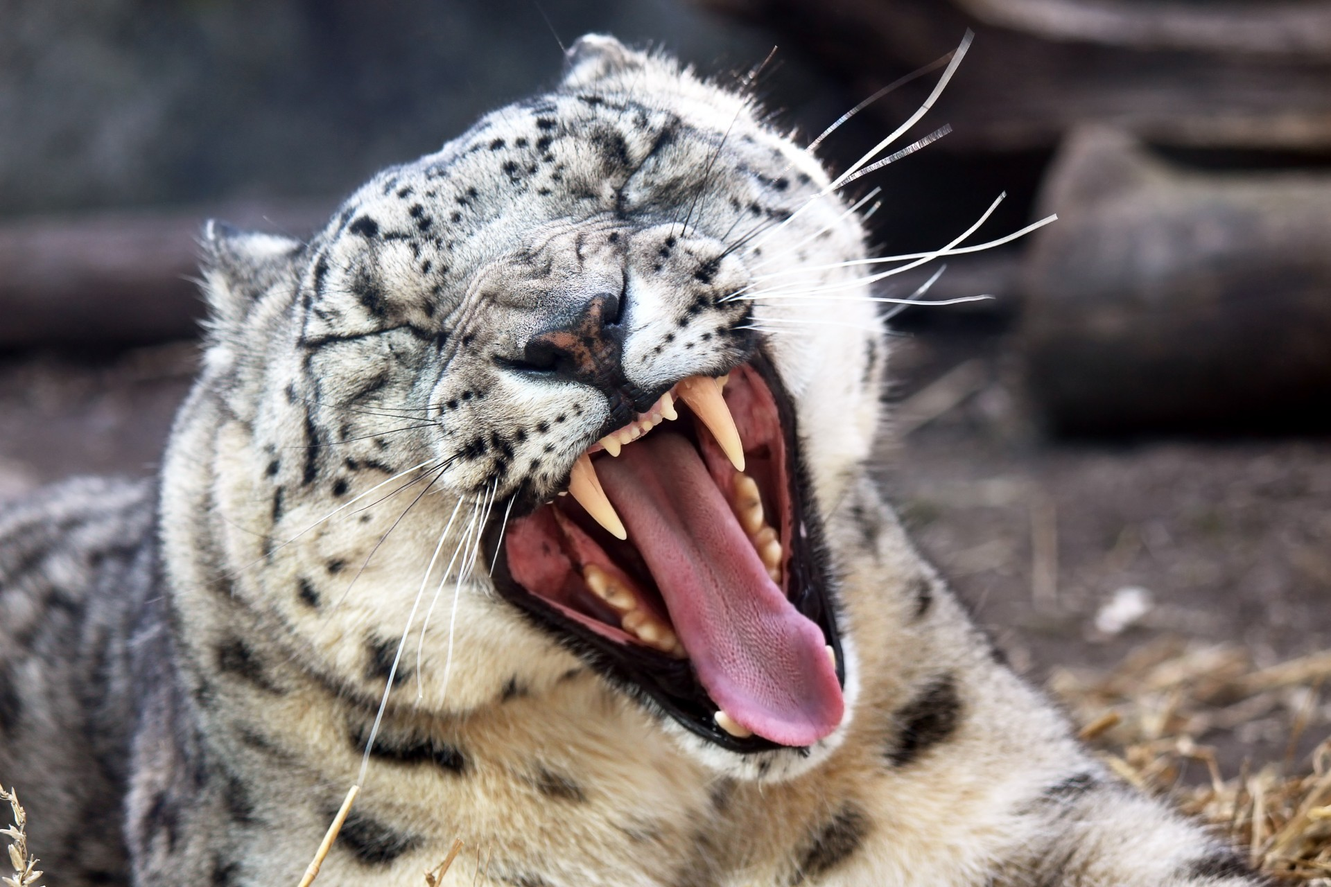 The Snow Leopard Is No Longer Endangered After 45 Years snow leopard yawning 1