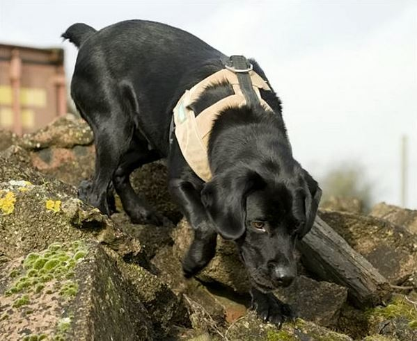 Army Dog Becomes Best Friend And Never Leaves His Masters Side treo 4