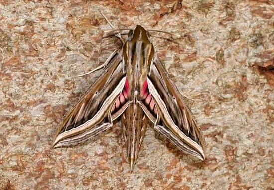 Giant Moths The Size Of Your Hand Are Coming To UK 22471338 1592054210859330 1737391626 n
