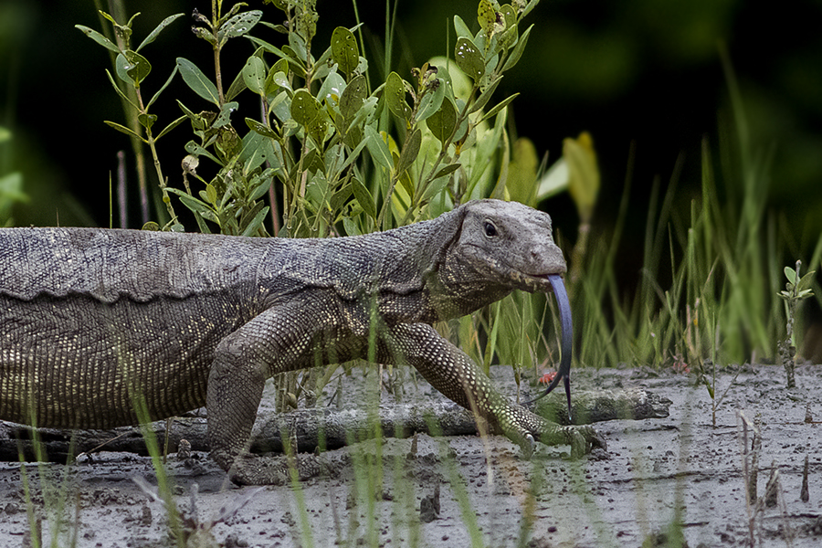 14 Foot Python Coughs Up Monster Lizard Water Monitor Sunderban National Park West Bengal India 22.08.2014