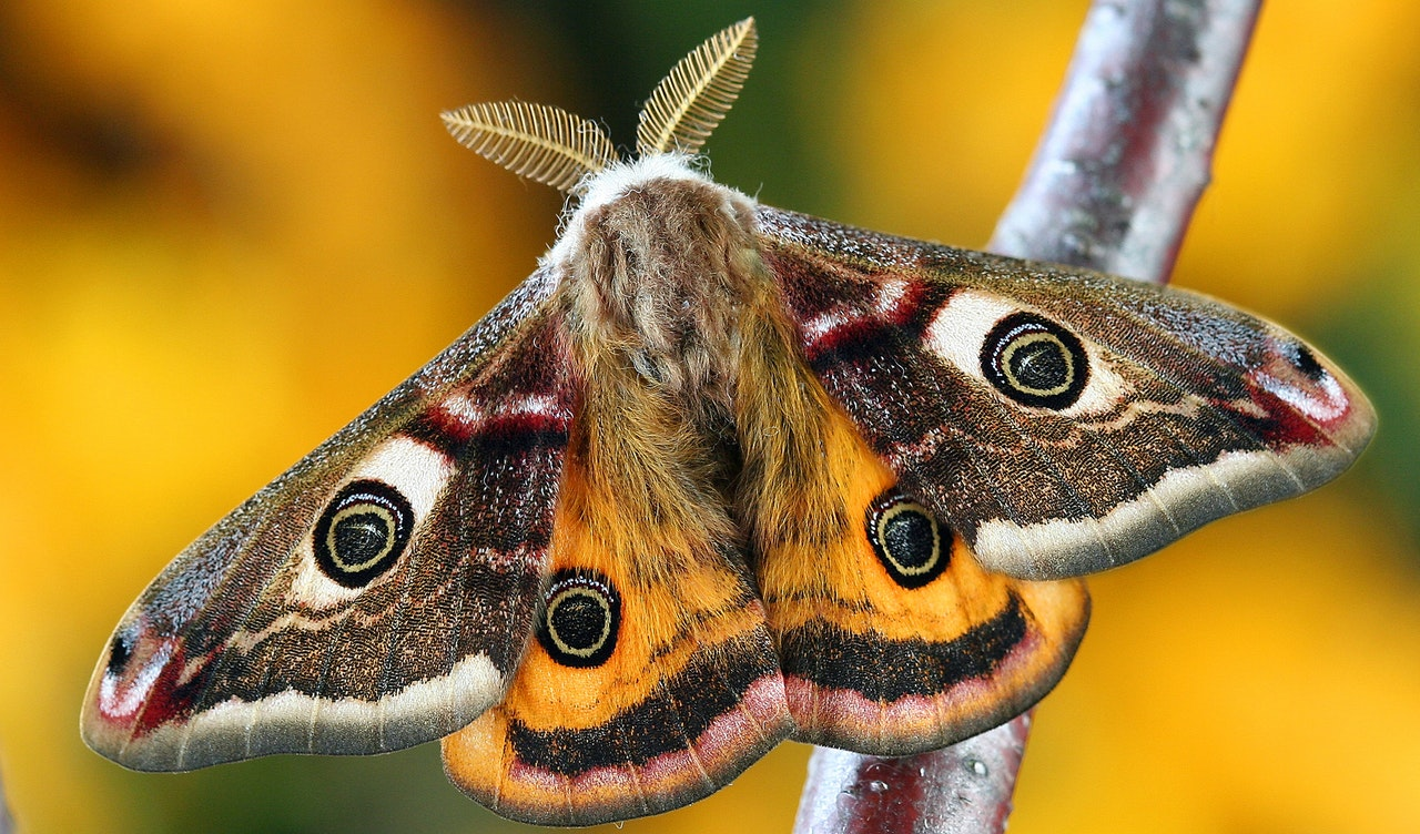 Giant Moths The Size Of Your Hand Are Coming To UK %name