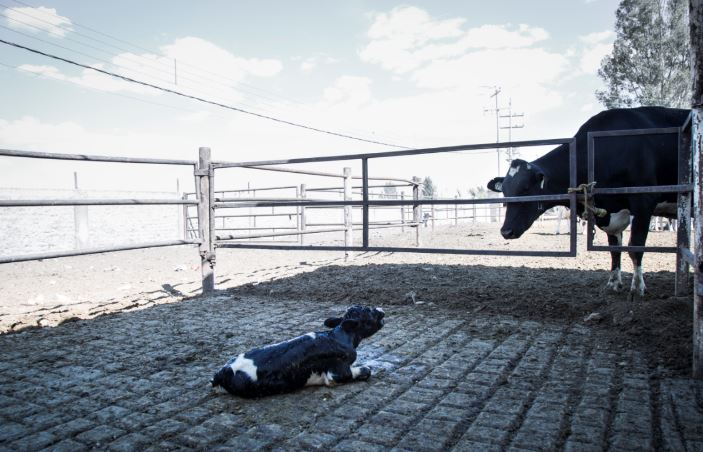 Shocking First Person Video Shows Disgusting Way Cows Are Slaughtered Capture 44 2