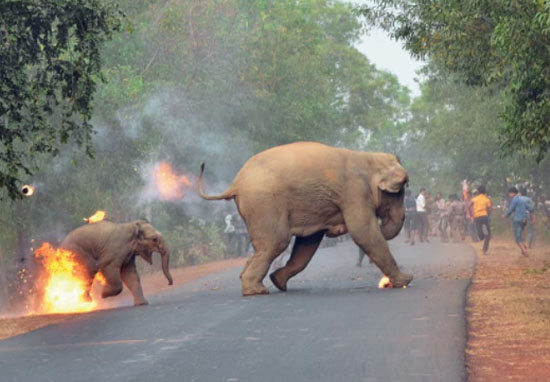 Angry Mob Set Mother And Baby Elephant On Fire Elephant2 web