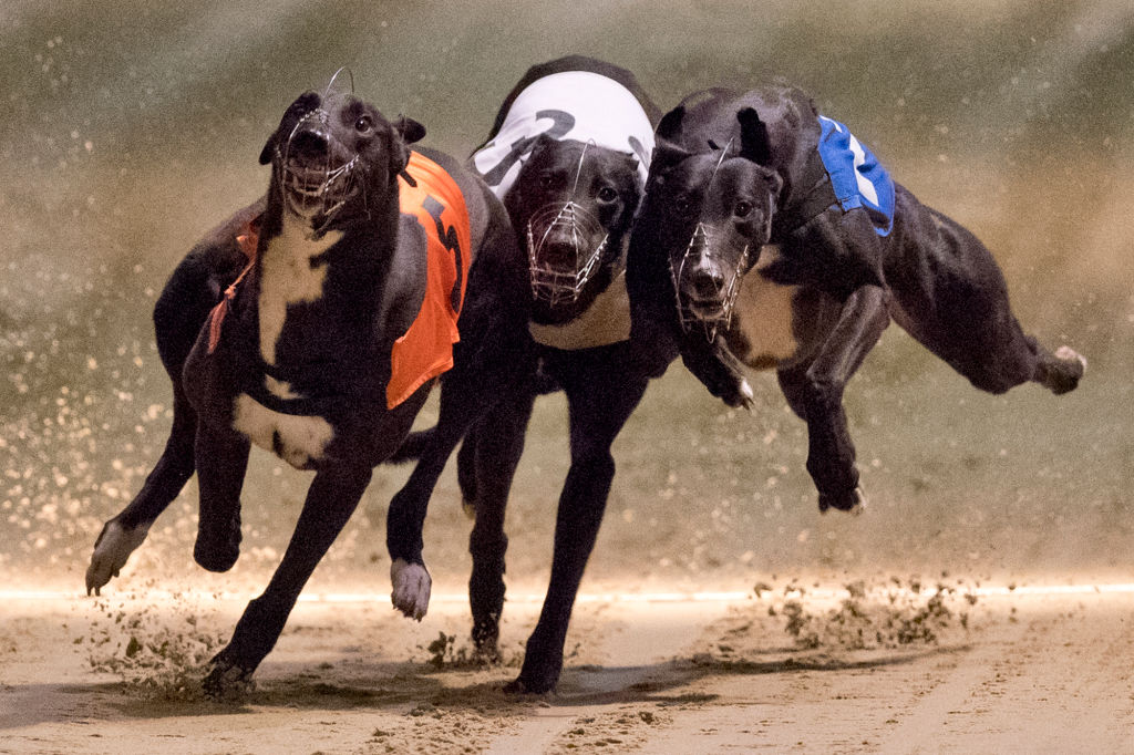 The Grim Reason Greyhounds Are Being Given Cocaine GettyImages 655547840