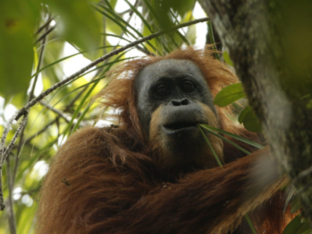 New Species Of Orangutan Discovered In Indonesia Smiling Orang 624x468