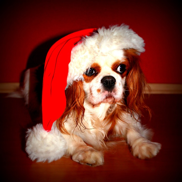 A Christmas Market For Dogs Is Launching In UK cavalier king charles spaniel 69572 960 720