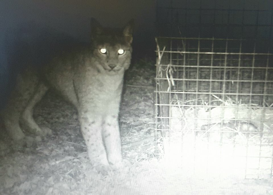 Escaped Lynx Who Posed No Threat To Humans Is Killed lilleth 2 borth fb