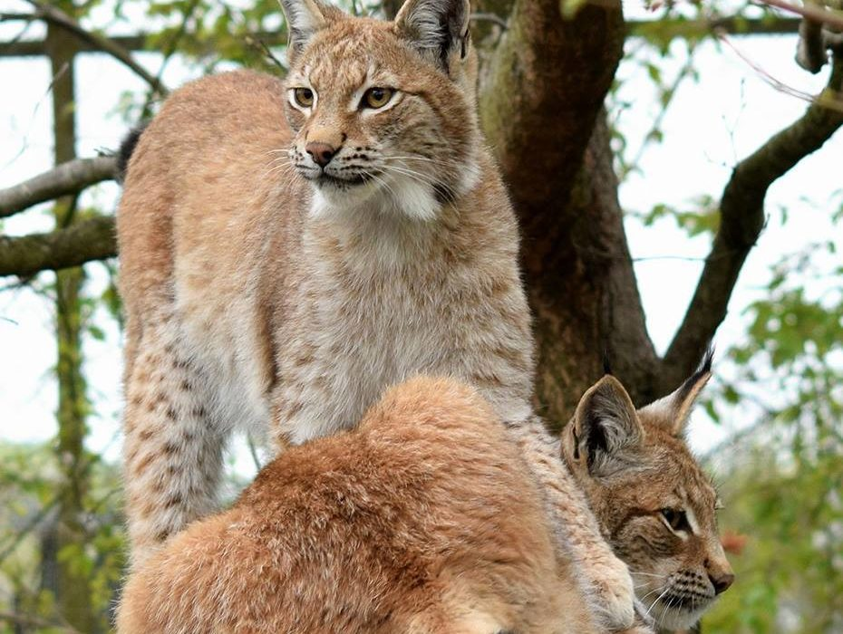 Escaped Lynx Who Posed No Threat To Humans Is Killed lilleth 3 borth fb 930x700