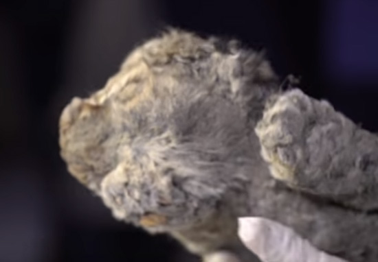 Scientists To Bring 50,000 Year Old Lion Back To Life lion cub b