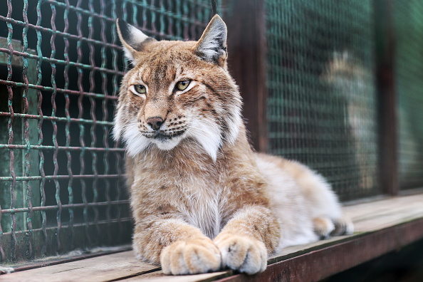 Escaped Lynx Who Posed No Threat To Humans Is Killed lynx webber