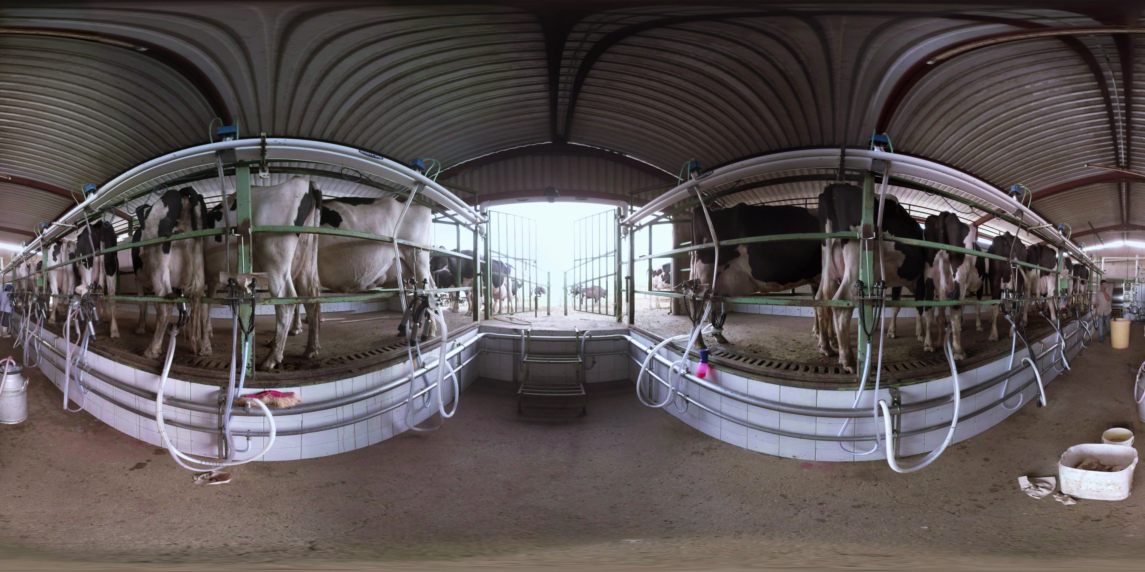 Shocking First Person Video Shows Disgusting Way Cows Are Slaughtered moo ving pictur 61541