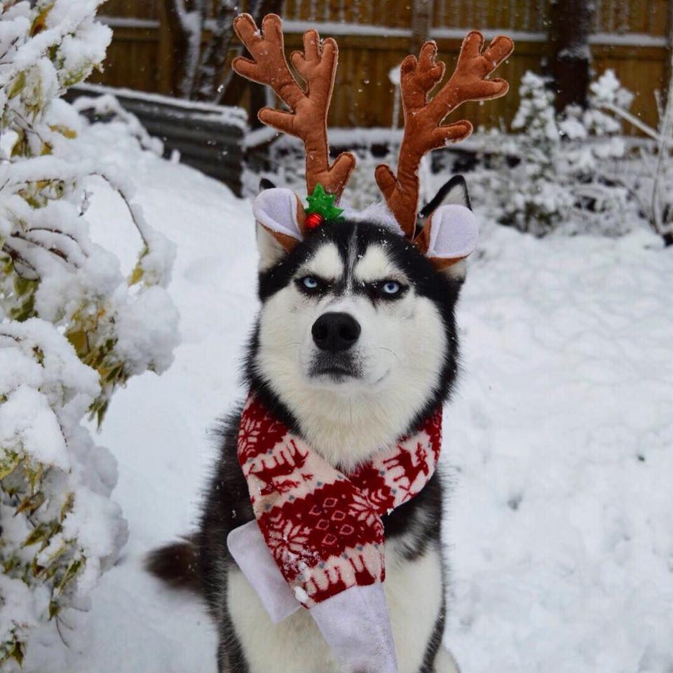 Angry Husky Goes Viral For Hilarious Christmas Card Photoshoot 24909572 327700787638373 451291675000094922 n
