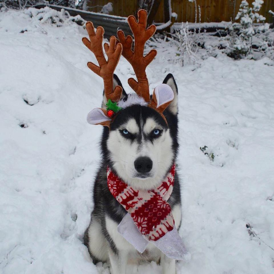 Angry Husky Goes Viral For Hilarious Christmas Card Photoshoot 24993326 327700794305039 7477157186290481058 n