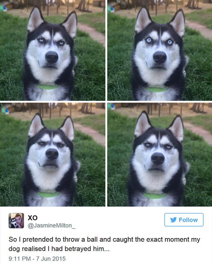 This grumpy husky went viral for his grumpy faces