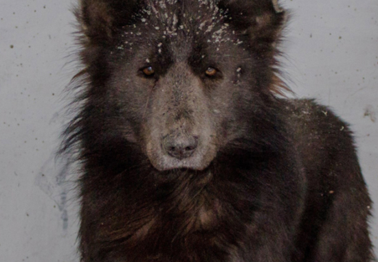 Experts Finally Identify Mysterious Russian Bear Dog Bear Dog A