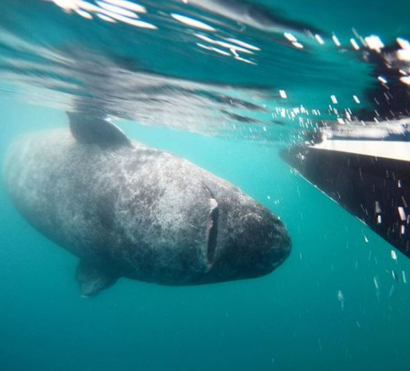 512 Year Old Shark Caught By Marine Biologists Capture Greenland Shark 2